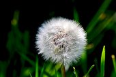 stock photo of dandelion  - Spring dandelion white background a physician withered dandelion Dandelion green - JPG