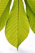picture of chestnut horse  - Horse chestnut translucent green leave in back lighting on white sky background - JPG