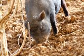 picture of pig-breeding  - a little black pig rummages in the sandy soil - JPG
