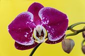 foto of homogeneous  - Purple orchid flower on a yellow background - JPG