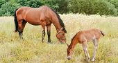 image of foal  - horse and foal on a summer field - JPG