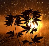 foto of cannabis  - cannabis plant on sunset with rain and drops out the window - JPG