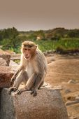 image of macaque  - Wild macaque monkey on the rock in Hampi in India - JPG