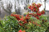 foto of ashes  - A bush of a mountain ash - JPG