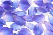 Larkspur Petals