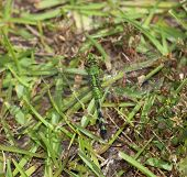 picture of dragonflies  - Green dragonfly that is hard to see in the grass - JPG
