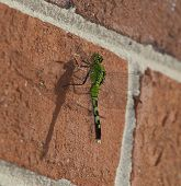 stock photo of dragonflies  - Green dragonfly on a brick wall with its shadow toward the camera - JPG