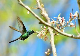 stock photo of hummingbirds  - Flying Cuban Emerald Hummingbird  - JPG