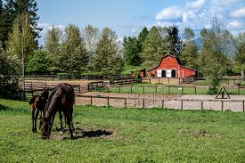 stock photo of fillies  - Mare and Filly Grazing in a Meadow near Fort Langley British Columbia with their red barn in the background - JPG