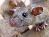 Really Cute Wild Rat