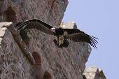 Griffon Vulture - Gyps fulvus in flight