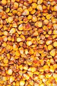 Corn To Use Also As Animal Food