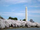 Cherry Blossoms In Dc Washington Monument