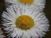 White Aster Wildflower
