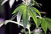 Marijuana Plant. Beautiful Female Marijuana Plant Photo. Female Cannabis Flower, plant and leaves.  poster