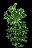 Fresh Kale From The Garden. Kale Or Leaf Cabbage Are Certain Cultivars Of Cabbage Grown For Their Ed poster