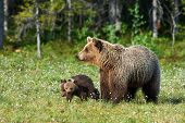 Mother Bear (ursus Arctos) Walking In Finnish Taiga With Its Small Cubs poster