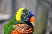 Rainbow Lorikeet, (trichoglossus Haematodus)
