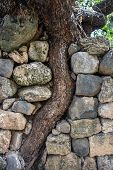 Curved Tree Trunk Grows In Old Stone Wall, Crooked Tree Growing Between Old Masonry, Banias Nature R poster