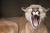 Yawning Mountain Lion
