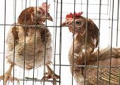 Layers - Hens From Intensive  Indoor Farming - Animal Protection Concept poster