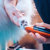 Pomeranian Dog On The Table For Grooming In The Beauty Salon For Dogs. Toned Image. poster