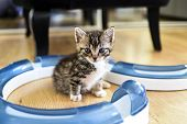 A Small Sweet Tabby Kitten With A Toy.a Small Sweet Tabby Kitten With A Toy. poster