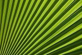 Chusan Palm Leaf Section