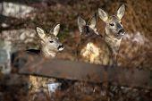 Herd Of Young Roe Deers In Woodland In Winter, Italian Alps poster