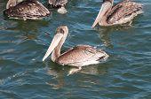 Pelicano na costa da Califórnia