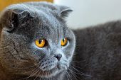 Cat Lilac Coloured Adult Scottish Fold Orange Eyes And Forward-folded Ears poster