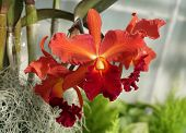 Beautiful And Stunning Red Color Of Cattleya Orchid Flowers poster