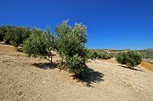 Olive Grove On A Slope With Watering Grooves Near Baeza, Jaen Province, Andalucia, Spain, Western Eu poster