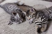 Two One Month Old Bengal Kittens Lying On Karpet Sleeping And Having Rest poster