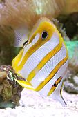 Beak coralfish