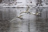 picture of trumpeter swan  - Trio of Trumpeter Swans rfeady to land in an icy river - JPG