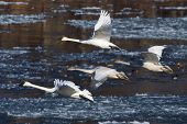 pic of trumpeter swan  - Family of Trumpeter Swans about to land - JPG