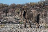 A Giant African Elephant -loxodonta Africana- Walking Pas After Having Taken A Bath In A Waterhole I poster