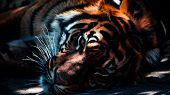 Closeup Footage Of Royal Bengal Tiger. Sundarban, West Bengal. poster