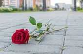 A Rejected And Discarded Red Rose Flower Lies On The Stone Pavement Of A Footpath In A City Park poster