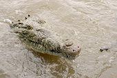 Curious Crocodile Encounter