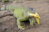 Iguana Eating Banana in Costa Rica
