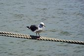 picture of tig  - seagull walking on suspended rope - JPG