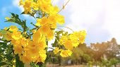 Yellow Elder Or Tongurai. Fresh Flowers Looks Like A Bell Horn Or Trumpet A Bouquet Of Flowers By Th poster