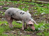 One Spotted Pig On A Mountain Pasture poster