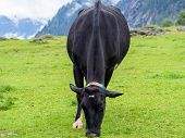 Black Milk Cow On A Mountain Pasture On A Foggy Day poster