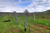 stock photo of tokay wine  - Vineyard in the Tokaj hills in North Hungary - JPG