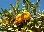 View at mandarin orange tree in nature