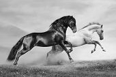 Pferde laufen