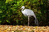 The Blue Crane, Grus Paradisea, Is An Endangered Bird Specie Endemic To Southern Africa. It Is The N poster